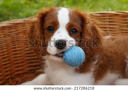 Cute little Cavalier King Charles Spaniel with blue rubber ball in the mouth - stock photo