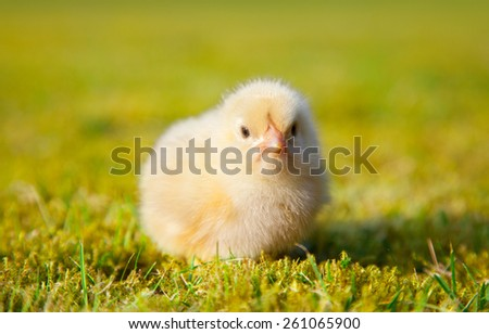 Cute little chick on green meadow - stock photo