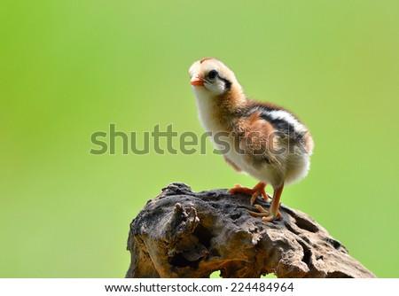 Cute little chicken - stock photo