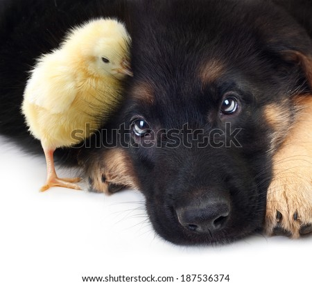 Cute little chicken and puppy german shepherd dog on a white background. - stock photo