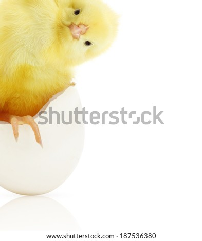 Cute little chicken coming out of a white egg isolated on white background - stock photo