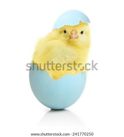 Cute little chicken coming out of the Easter egg isolated on white background - stock photo