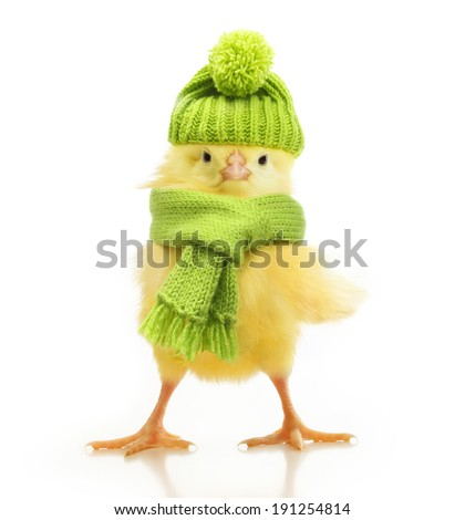 Cute little chicken in green knitted hat and scarf isolated on white background - stock photo