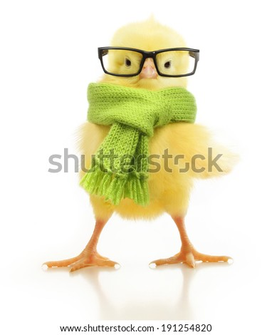 Cute little chicken isolated on white background - stock photo
