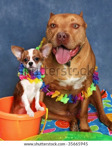 cute little chihuahua and big pit bull dog - stock photo