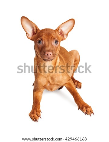 Cute little Chihuahua crossbreed dog laying down on white looking into camera