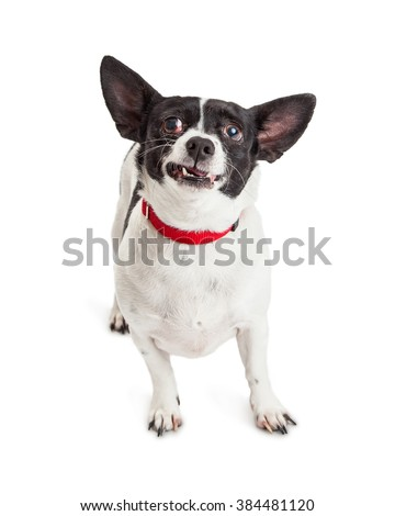Cute little Chihuahua crossbreed dog making a funny face
