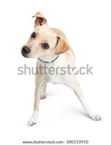 Cute little Chihuahua crossbreed dog standing on a white background and tilting his head - stock photo