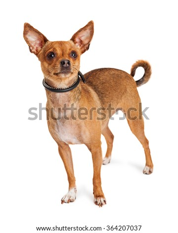 Cute little Chihuahua dog with perky ears standing on a white background