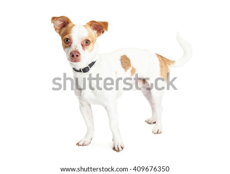 Cute little Chihuahua mixed breed dog with white fur and brown spots standing over white background - stock photo