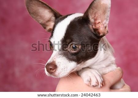 Cute little Chihuahua puppy being held in one hand
