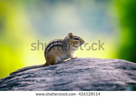 cute little chipmunk eating sitting still on stone - stock photo