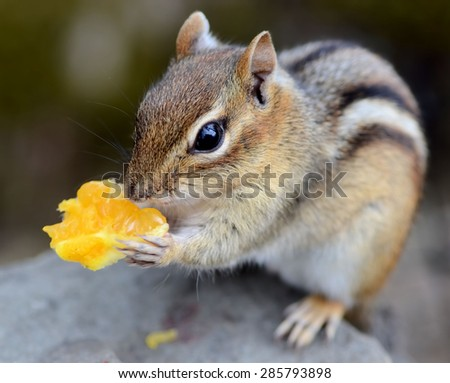 Cute little chipmunk enjoys his first taste of a sweet navel orange  - stock photo