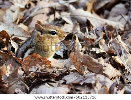 Cute little chipmunk hiding out in the fallen leaves