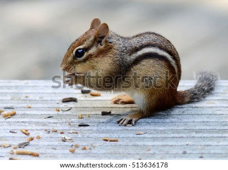 Cute little chipmunk snacking on meal worms