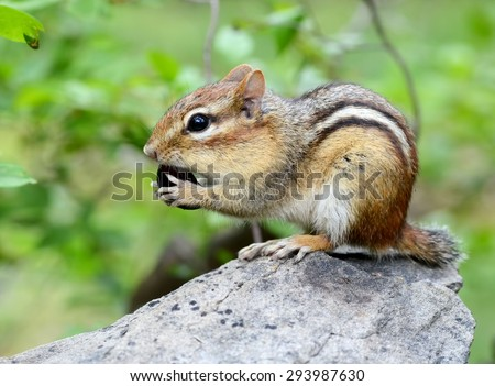 Cute little chipmunk snacks on a black seedless grape - stock photo
