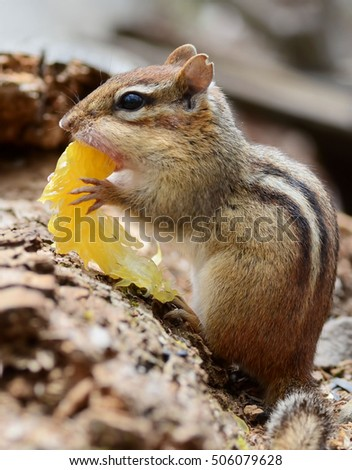 Cute little chipmunk trying to stuff an orange slice into her mouth