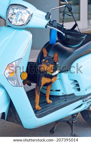 Cute little chiwawa dog on blue moped waiting for its owner to arrive. - stock photo
