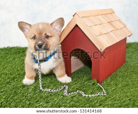 Cute little Corgi puppy tied up outside to a dog house. - stock photo