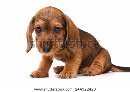 cute little dachshund puppy on white background - stock photo