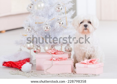 Cute little dog Maltese sitting with gifts near Christmas tree - stock photo