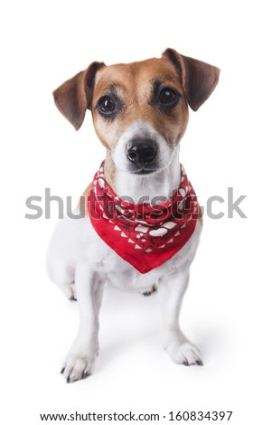 Cute little dog sitting in a trendy red bandana and looking to the camera. White background. studio shot