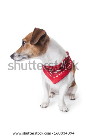 Cute little dog sitting in a trendy red bandana and looks at side. White background. studio shot - stock photo