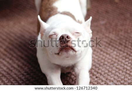 Cute little dog stretches it out - stock photo