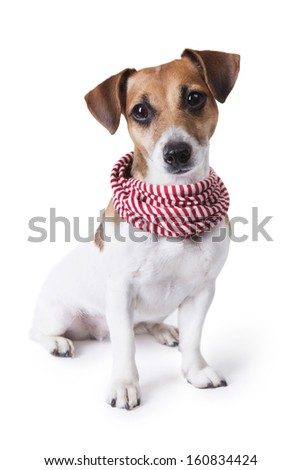 Cute little dog with a stylish accessory striped scarf. curious stares into the camera. White background. Studio shot.