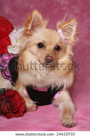 cute little dog with rose