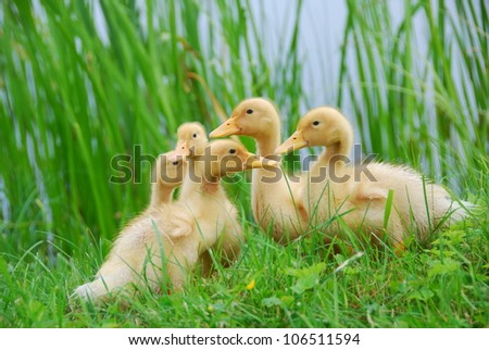 Cute little ducklings walking through the grass. - stock photo
