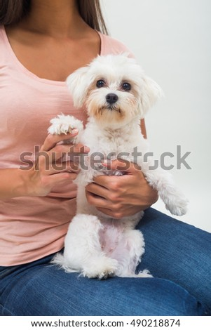 Cute little female maltese is sitting on lap of a woman and looking at camera.Portrait of cute female maltese sitting on lap