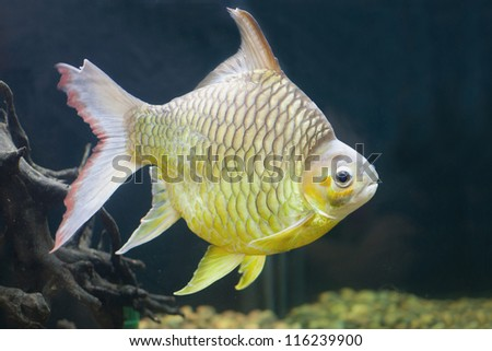 Fish gills stock photos images pictures shutterstock for Cute freshwater fish