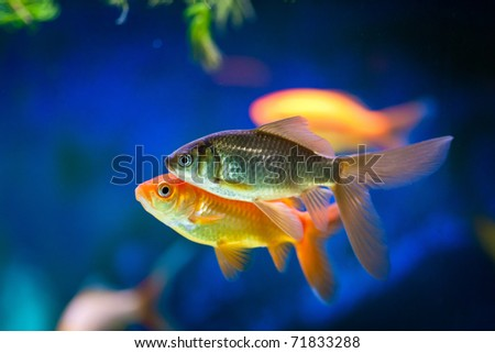 Little fish stock photos images pictures shutterstock for Cute freshwater fish