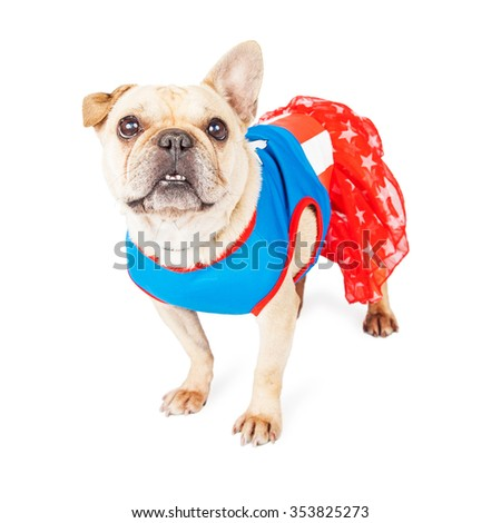 Cute little French Bulldog breed dog wearing a super hero costume