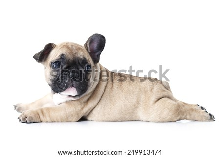 Cute little French bulldog puppy lying on white background and looks up to something  - stock photo