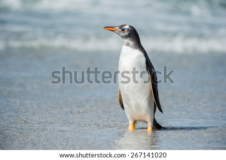 Cute little gentoo penguin neat the ocean water in Antarctica