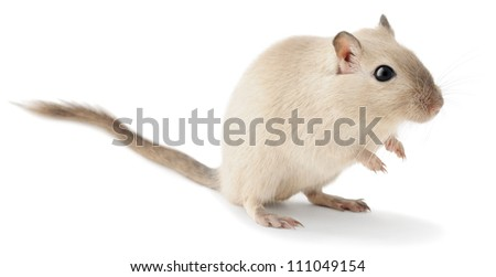 Cute little gerbil isolated on white - stock photo