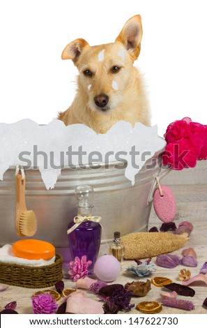 Cute little golden terrier sitting in a metal bath tub full of bubbles surrounded by bathing accessories enjoying a shampoo and pampering at a dog parlor - stock photo