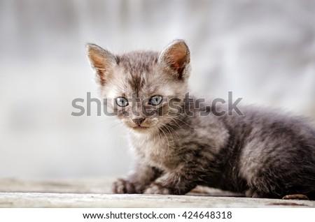 Cute little gray kitten. kitten walking in park - stock photo