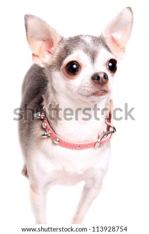 Cute little grey and white chihuahua isolated on light background
