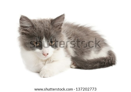 Cute little grey and white fluffy kitten  lying and looking isolated on white background