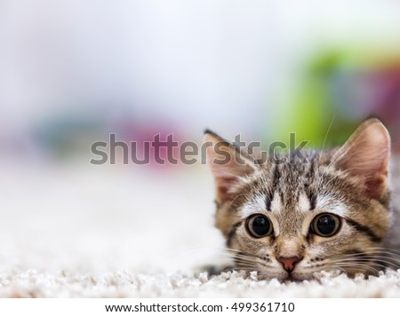 Cute little grey kitten lies on a white carpet and looking at camera