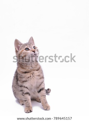 Cute little grey kitten playing on a white background