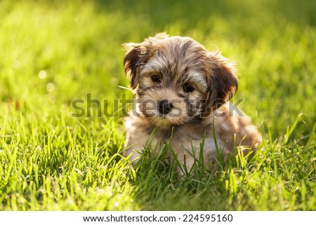 Cute little havanese puppy dog is sitting in the grass in backlight - stock photo
