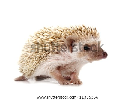 cute little hedgehog isolated on white