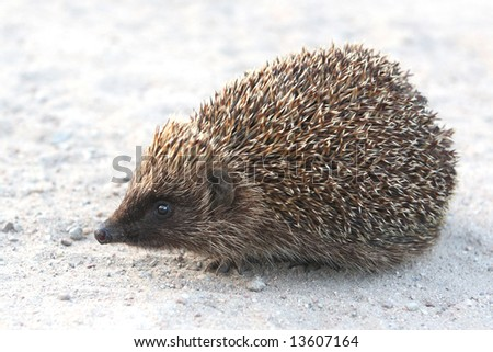 Cute little hedgehog on road