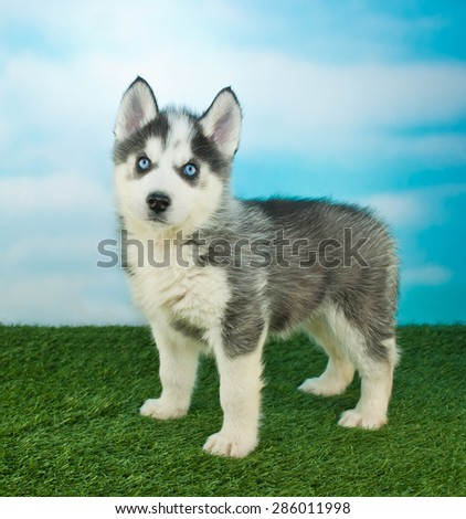 Cute little Husky puppy standing in the grass outdoors with a blue sky behind him,