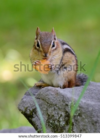 Cute little juvenile chipmunk eating a piece of juicy sweet cantaloupe