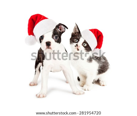 Cute little kitten and Boston Terrier puppy wearing red Christmas Santa Claus hats. Subjects looking at the camera. - stock photo
